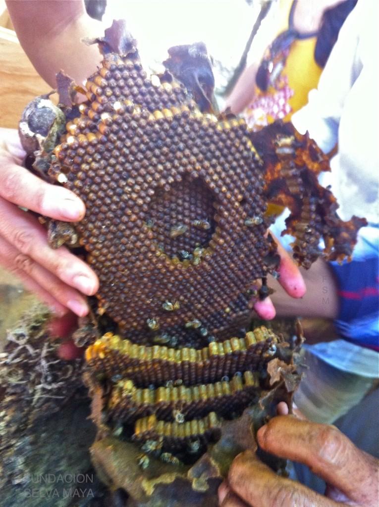 Encontramos esta colmena con población fuerte ycon abundancia de potes de miel y polen